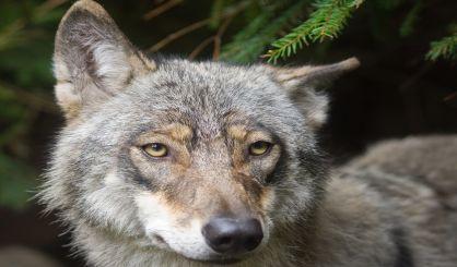 mi-wolf-population-holding-steady